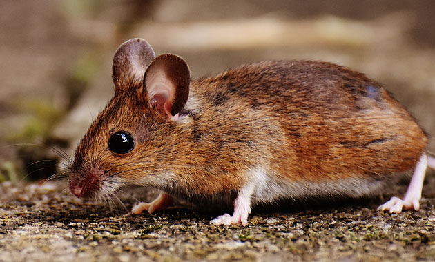 Meeting a Mouse in the Astral